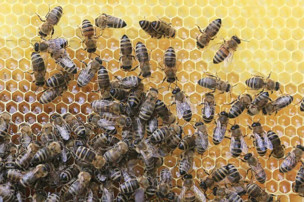 bees-2438361_1920