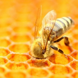 why are bees dying