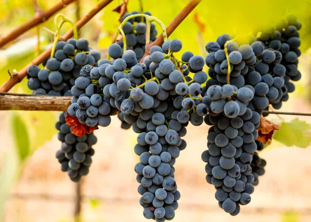 Shiraz Grape
