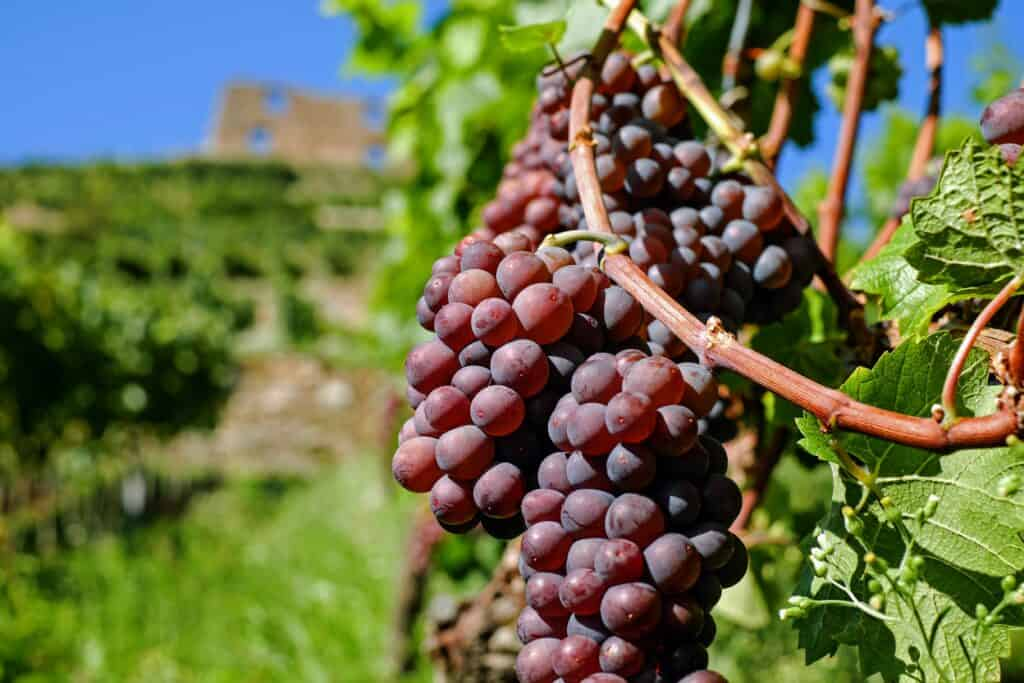 grapes 2672886